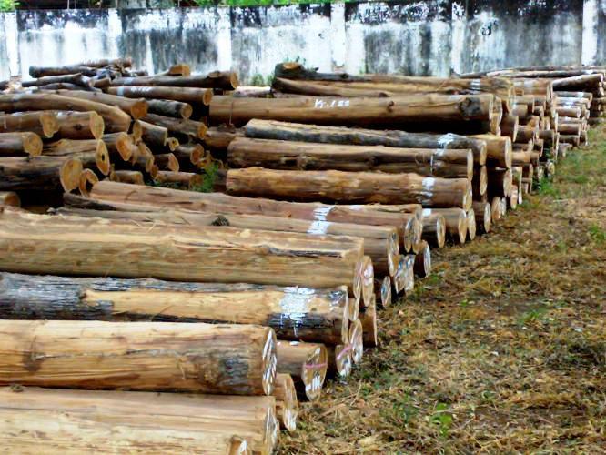 gambar kayu jatii glondong